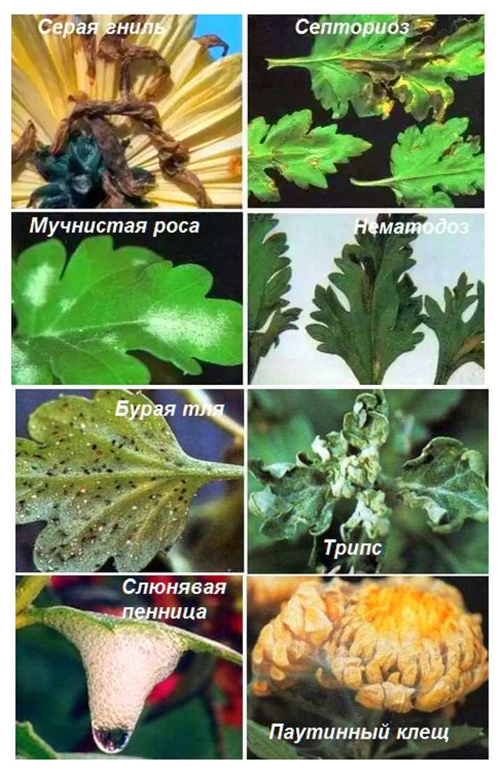 Паразиты хризантем