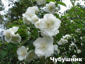 Растение чубушник