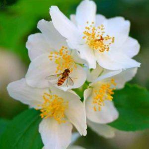 Цветки чубушника