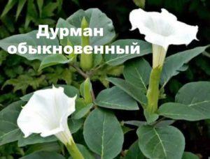 Цветы дурмана обыкновенного