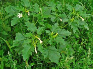 Кустовое растение - дурман