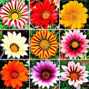 Цветы газании разных сортов