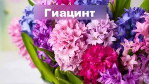 Растение гиацинт