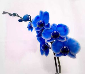 Фаленопсис голубой