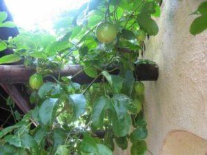 Растение на балконе. Гуава