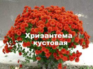Красный куст хризантемы