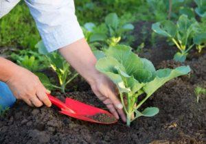 Рассадное выращивание кольраби