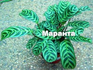 Внешний вид растения Маранта