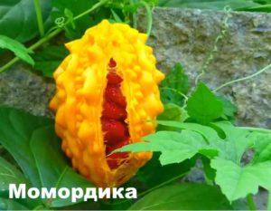 Оранжевая момордика