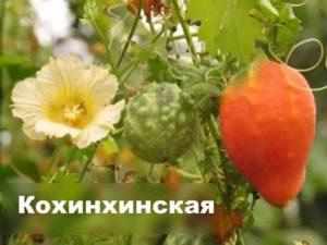 Сорт момордики - кохинхинская