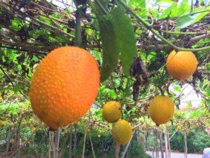 Урожай момордики