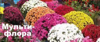 Сорта хризантемы: мультифлора