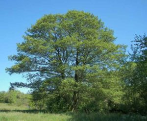 Дерево ольхи