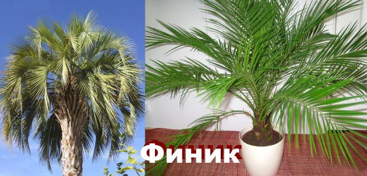 Вид: пальма Финик