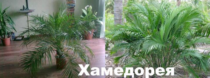 Вид: пальма Хамедорея