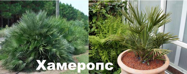 Вид: пальма Хамеропс