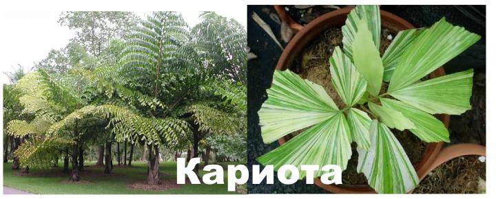 Вид: пальма Кариота
