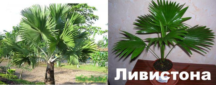 Вид: пальма Ливистона