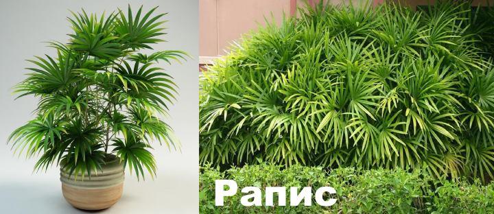 Вид: пальма Рапис