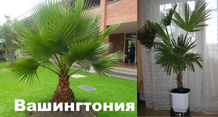 Вид: пальма Вашингтония