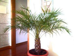 пальма комнатная разновидности названия