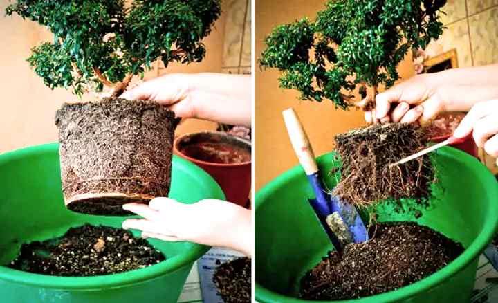 Вариант пересадки миртового дерева