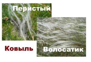 Сорта ковыли: перистый и волосатик