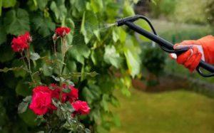 Опрыскивание-полив роз