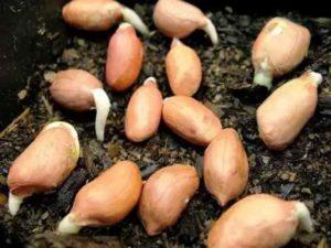 Ростки семян арахиса