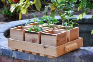 Ящики с рассадой ольхи