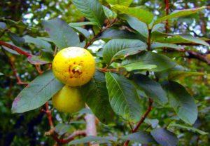 Плод на ветке. Гуава