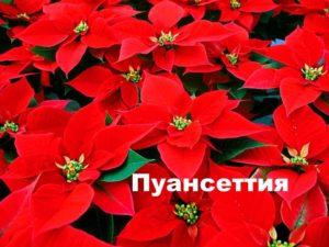 Цветущая пуансеттия