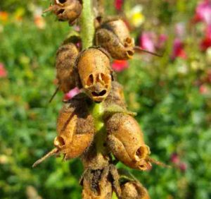 Черепушки-семена растения