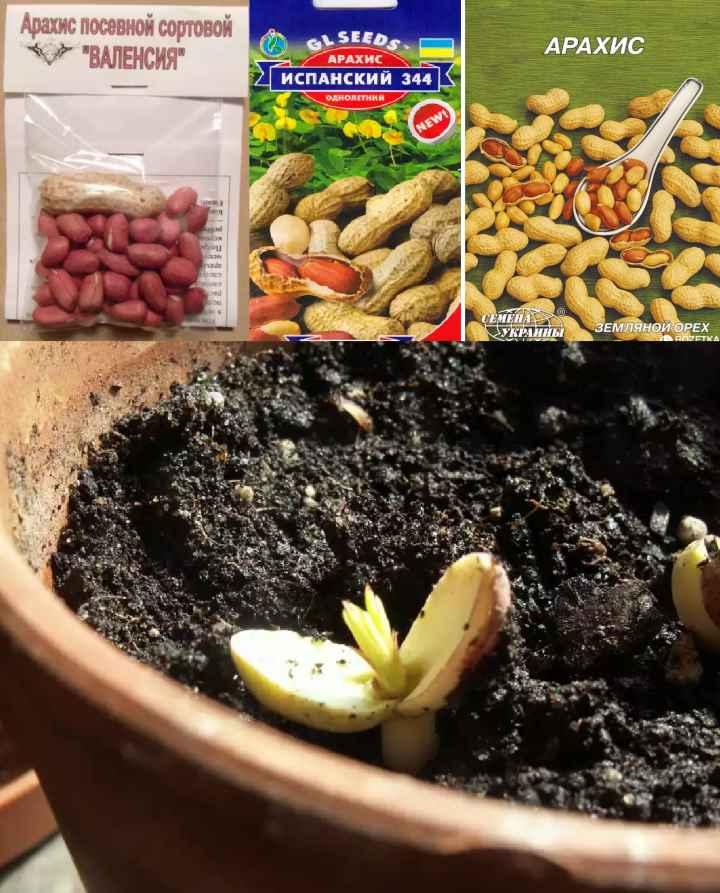 Всходы и семена арахиса