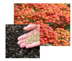 Разведение сухоцветов семенами