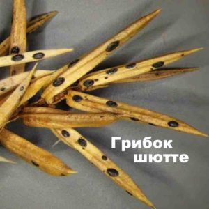 Поражение ветвей грибком шютте