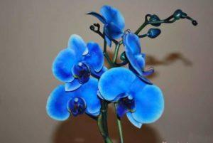 Цветы синей орхидеи