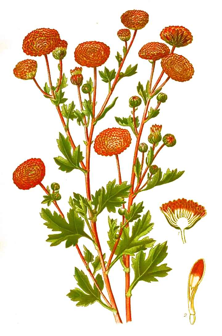Строение хризантемы