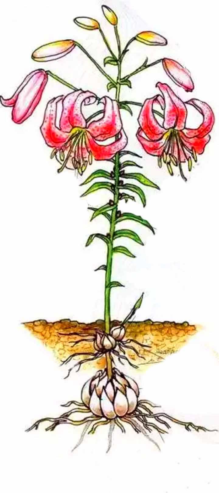 Внешний вид лилии от корня до цветка