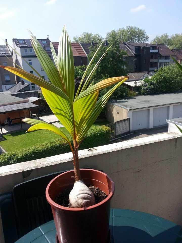 Пальма на балконе