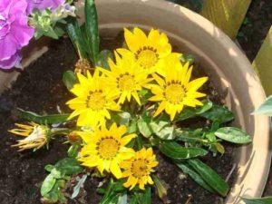 Желтое цветение гацании