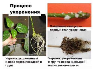 Схема укоренения черенков
