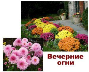 Сорта хризантемы: вечерние огни