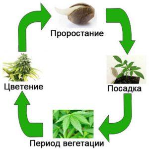 Последовательность процессов роста растения
