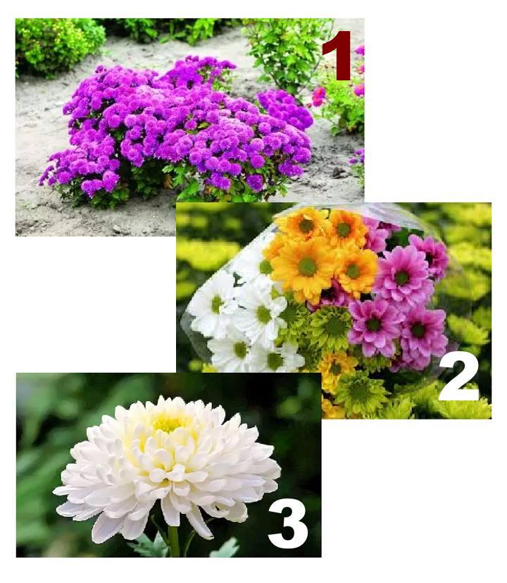Разные размеры хризантем