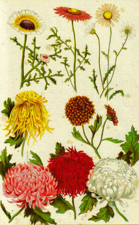 Формы цветов хризантемы