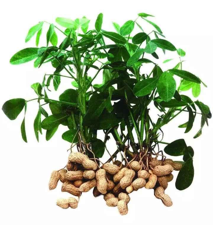 Растение арахиса