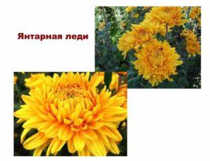 Сорта хризантемы: янтарная леди