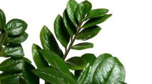 Глянец на листве замиокулькаса