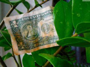 Доллар на замиокулькасе